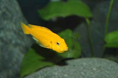 ağzında yumurtası olan balık