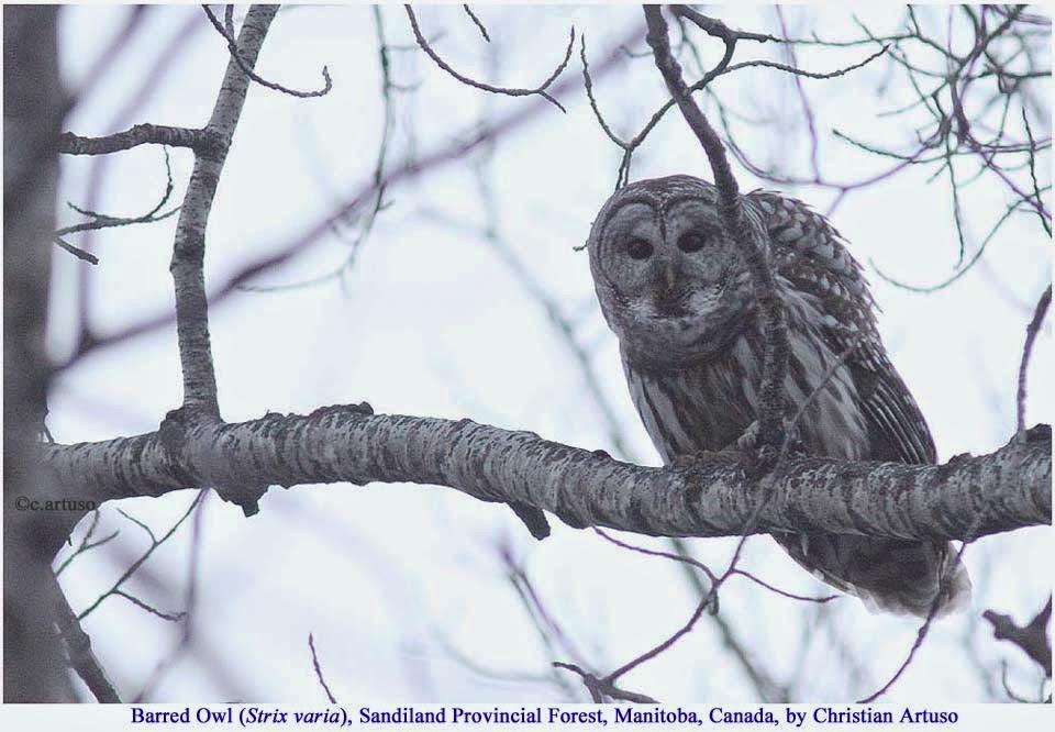 Spectacled Owl Pulsatrix Perspicillata Closing : Stockvideos & Filmmaterial  (100 % lizenzfrei) 1012523078   Shutterstock