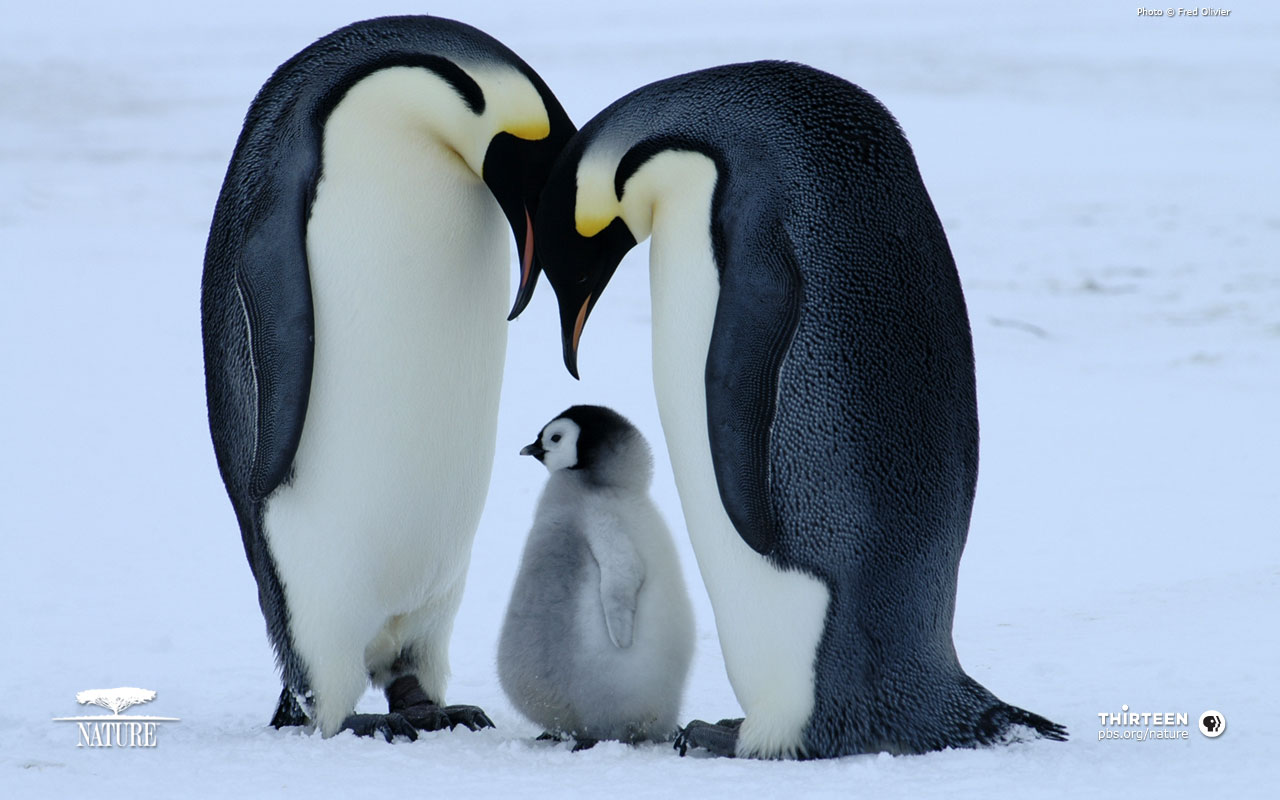 penguins cute animals penguin baby animal nature cutest penquins wallpapers penquin mother aw than feet