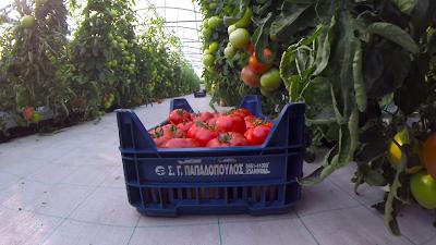SEP Market: Η καλλιέργεια τομάτας του Βαγγέλη Παππά,στην Γλυκή Θεσπρωτίας (+ΒΙΝΤΕΟ)