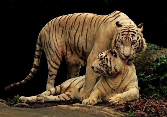 Les tigres 1247302234ra4pn5g%255B1%255D