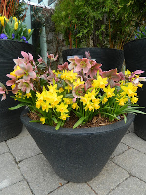 Helleborus x ericsmithii Pirouette and Jetfire daffodils in container at Toronto Botanical Garden by garden muses-not another Toronto gardening blog