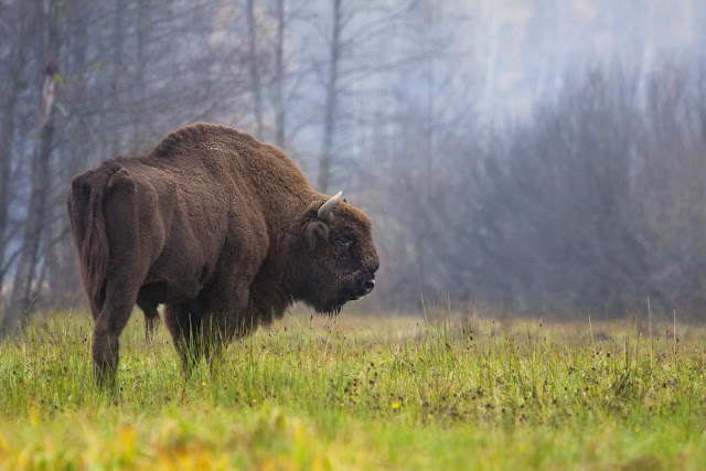 Where the buffalo have evolutionarily roamed