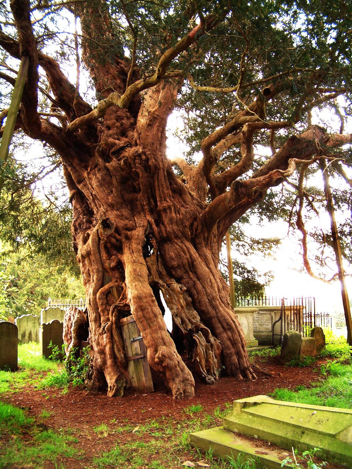 yew_tree.jpg