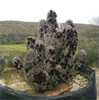 Hoodia (Hoodia Pilifera) Overview, Health Benefits, Side effects