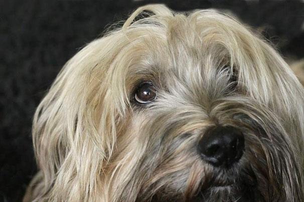 Ein Hundeblick kann Glückgefühle auslösen - Tibet Terrier Chiru beweist das auf dem Foto