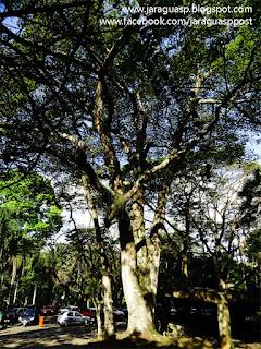 Jatobá com 450 anos localizado dentro do PEJ, um dos seres vivos mais antigos do bairro Jaraguá
