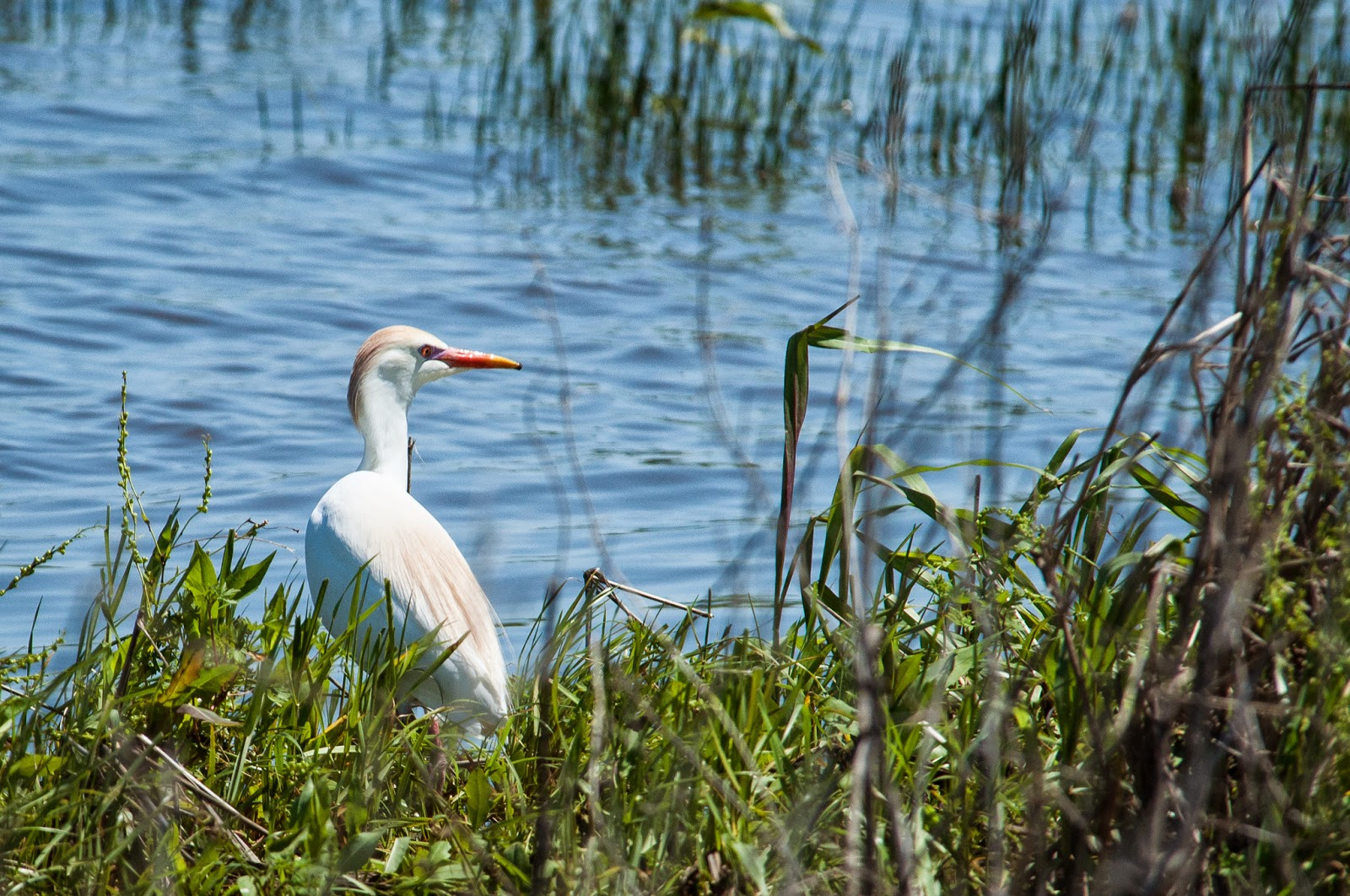 Cattle Egret, Hagerman Wildlife Refuge