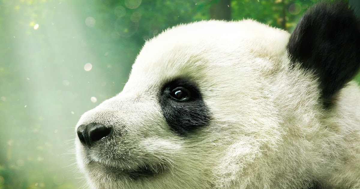 ChiIL Mama: IMAX® DOCUMENTARY PANDAS NARRATED BY KRISTEN BELL Begins ...