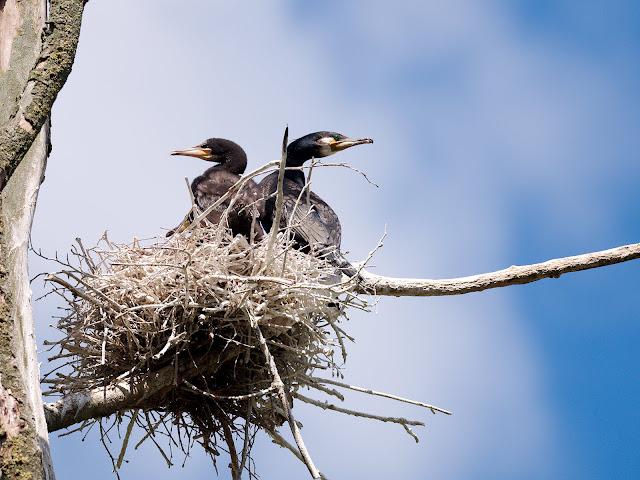 Altvogel und Jungvogel im Nest