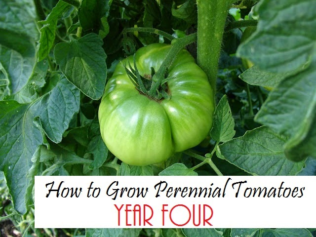 How to turn your favorite tomato into a perennial.