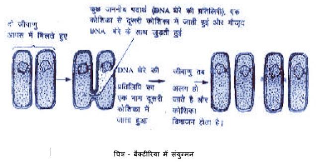 बैक्टीरिया में संयुग्मन