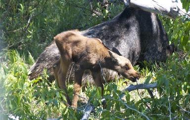 7. Moose