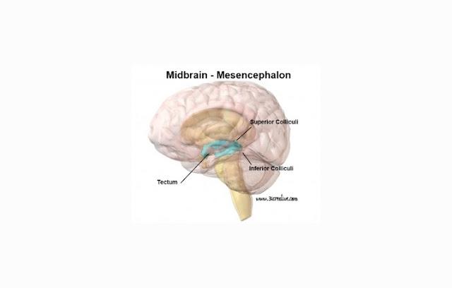 Bagian Bagian Otak Tengah