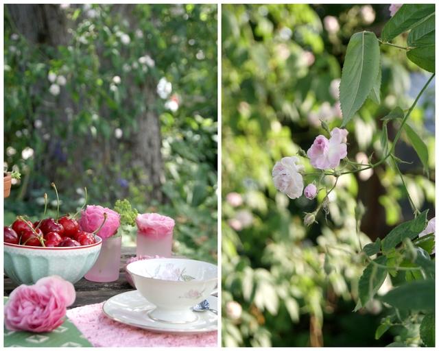 Ramblerrose Pauls himalayan musk und gedeckter Tisch mit Rosen