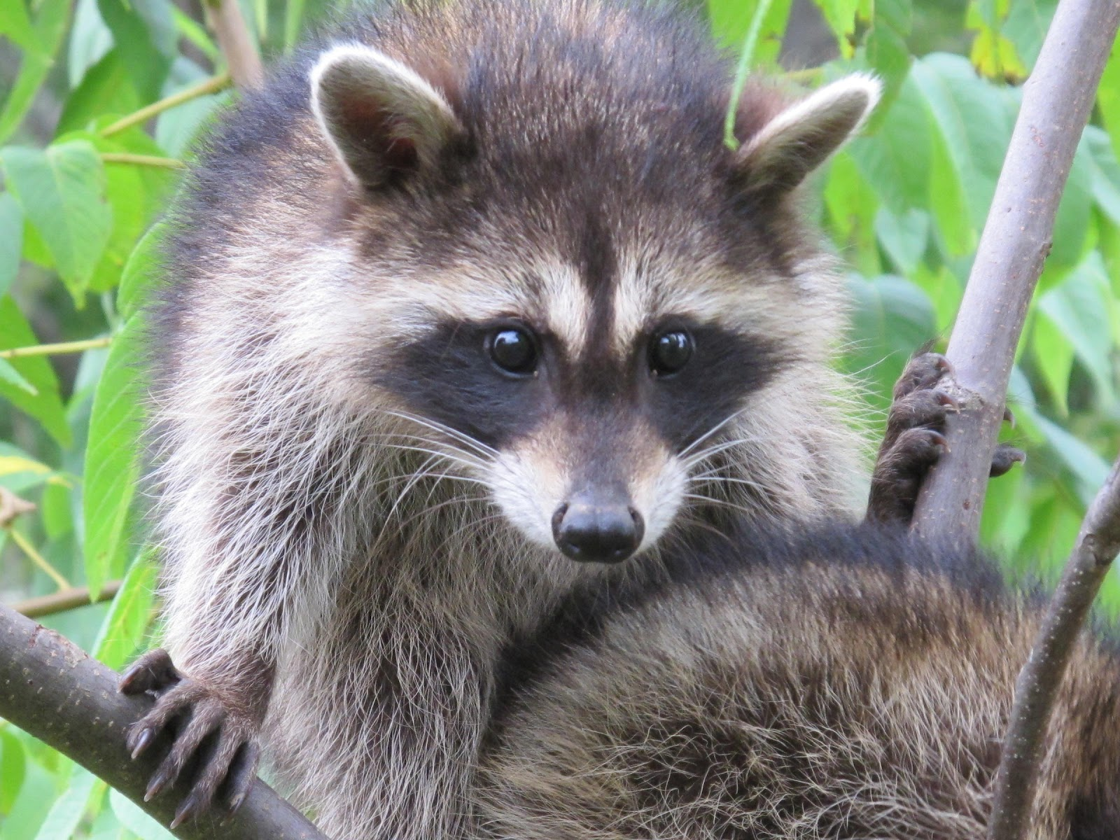 how to keep raccoons out of yard