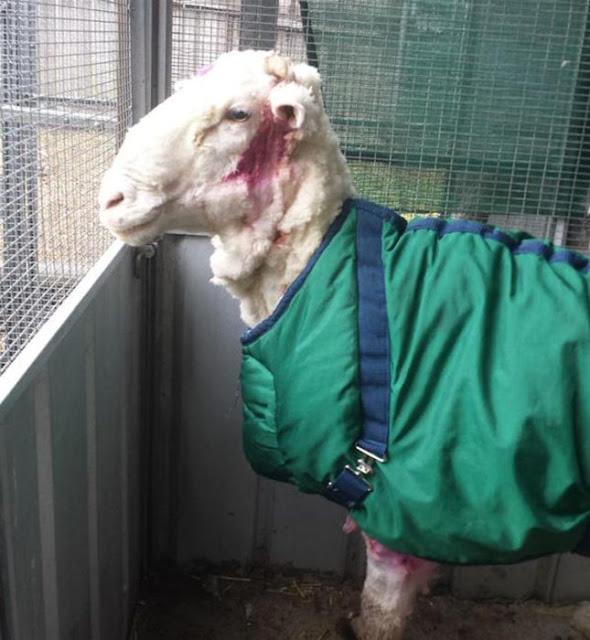 Esta oveja se extravío por 5 años ¡adivina cuántos kilos de lana salieron! Increíble
