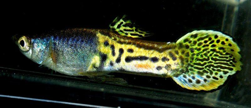 Gambar Ikan Guppy Roundtail COBRA METALHEAD