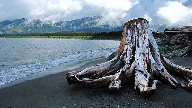 Driftwood octopus...