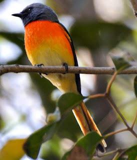 Pericrocotus cinnamomeus
