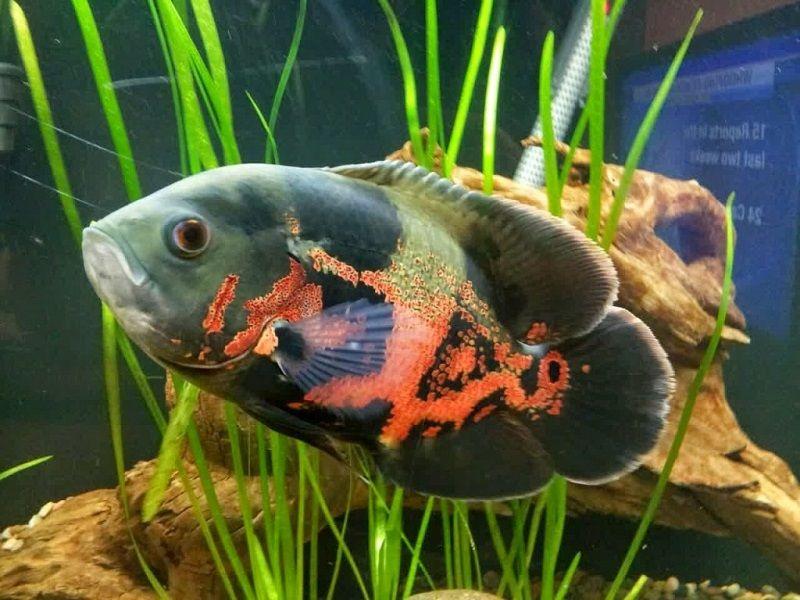 25. Jenis Ikan Hias Aquascape Oscar
