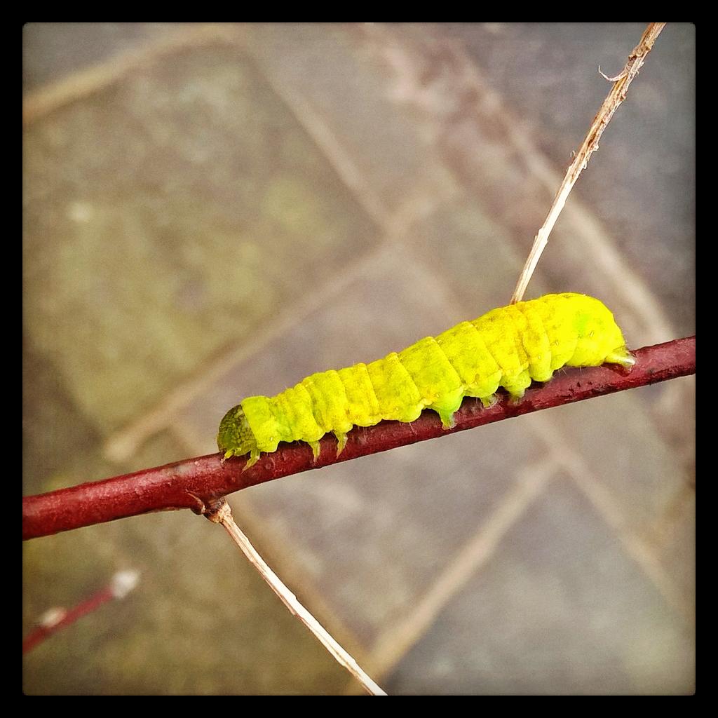 Garden65: The Anatomy of Caterpillars