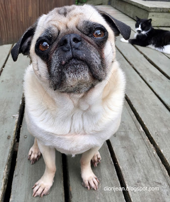 Liam the pug on the deck