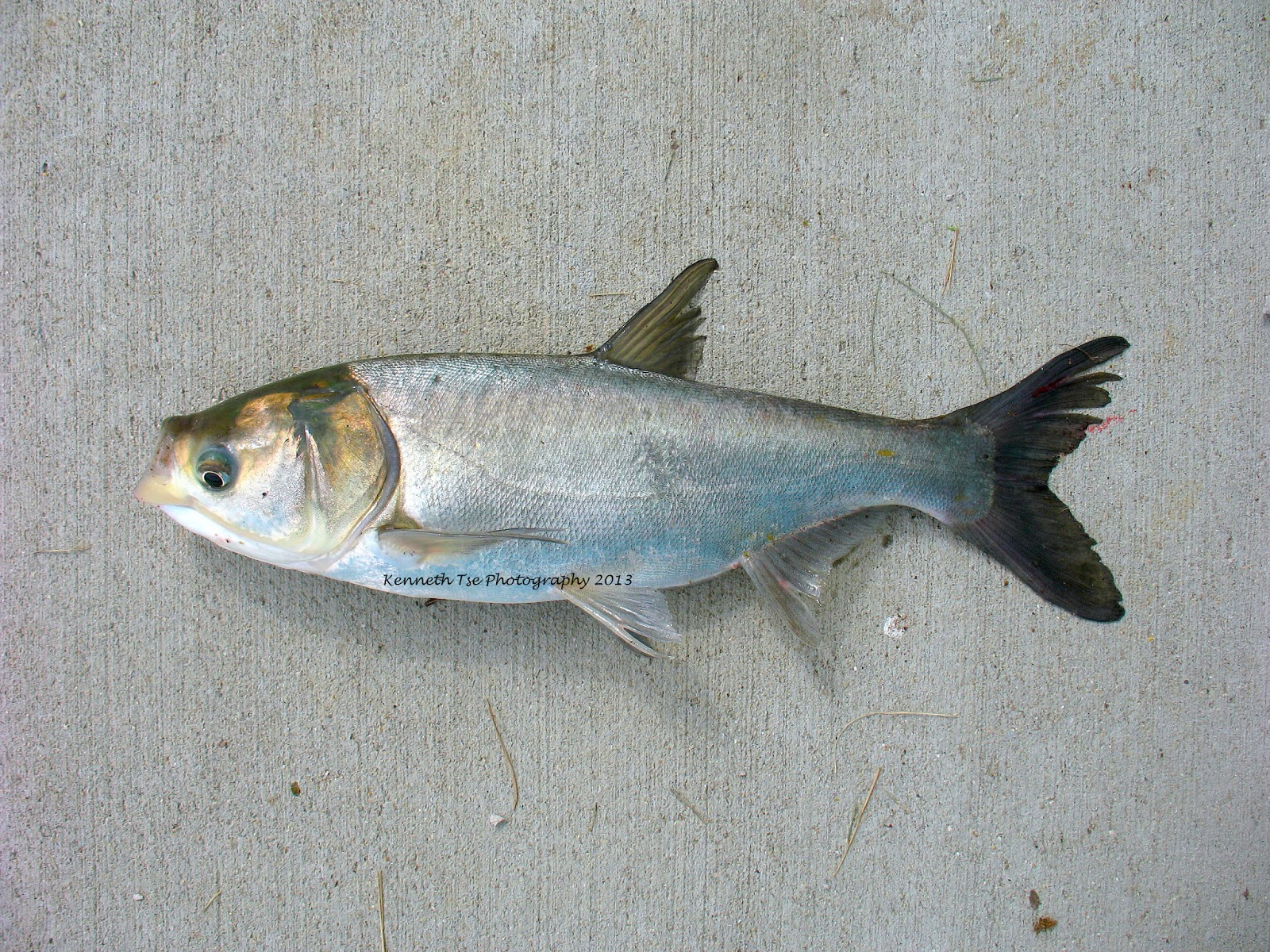 How To Make Silver Carp Bait