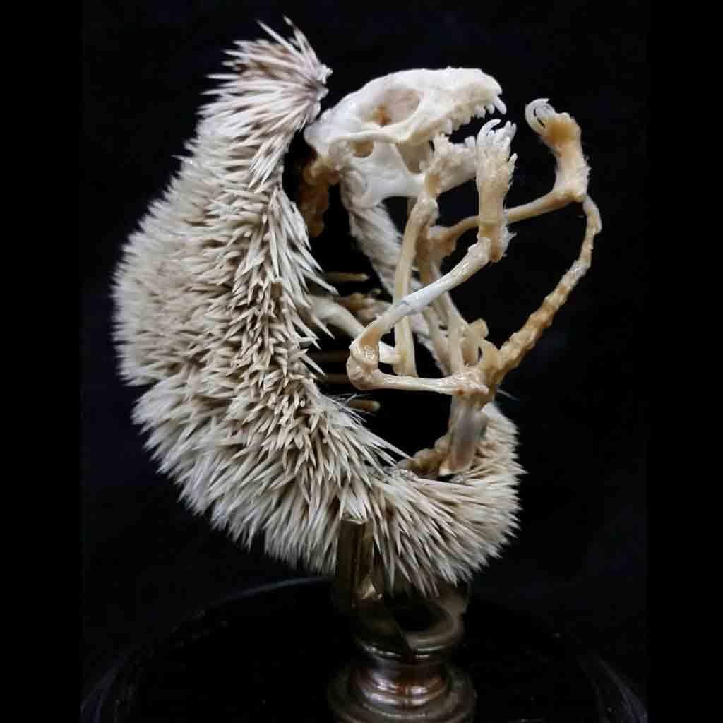 Esqueleto con púas de un erizo de tierra