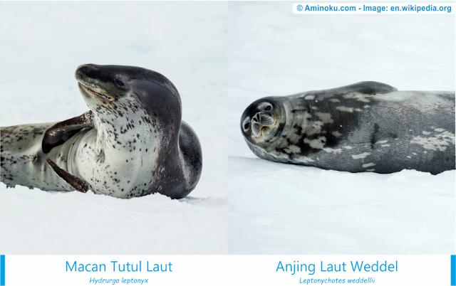 Perbedaan antara macan tutul laut dan anjing laut weddel