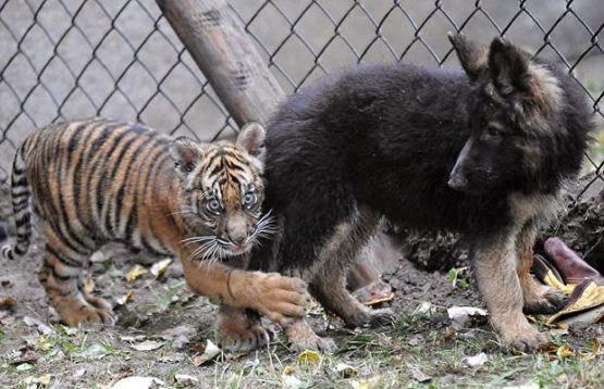 imagen de cachorro de tigre jugando con perro