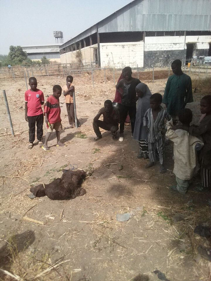 Photos: Cow with two heads found in Northern Nigeria