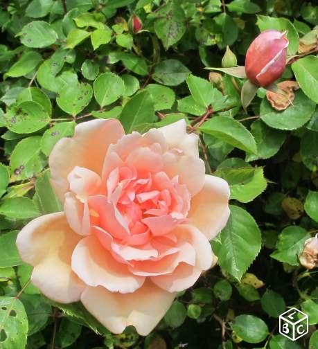 promesse de roses en bretagne les roses anciennes de. Black Bedroom Furniture Sets. Home Design Ideas