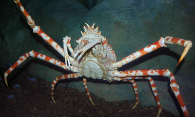 interesting facts about the japanese spider crab