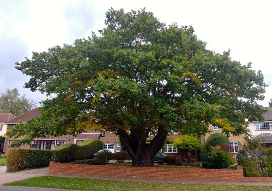 Photograph of old oak along Mymms Drive, Brookmans Park - September 2018 Image by North Mymms News, released under Creative Commons BY-NC-SA 4.0