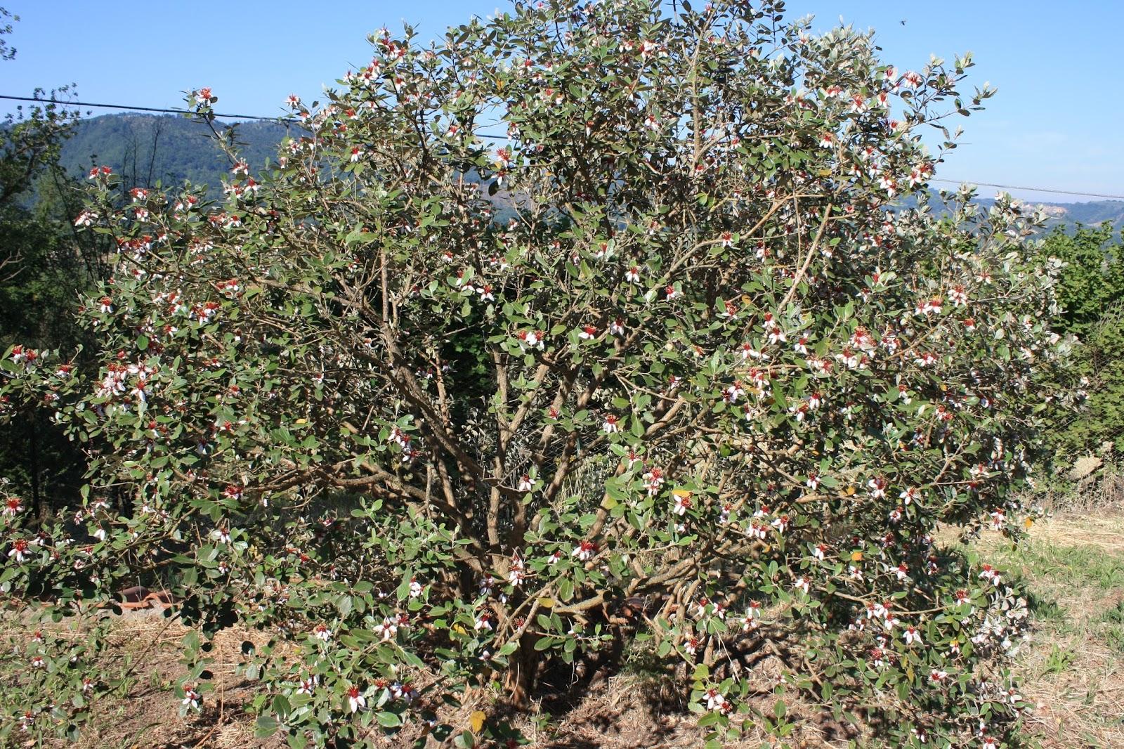 Az agricola sambuco feijoa la pianta miracolosa for Pianta feijoa
