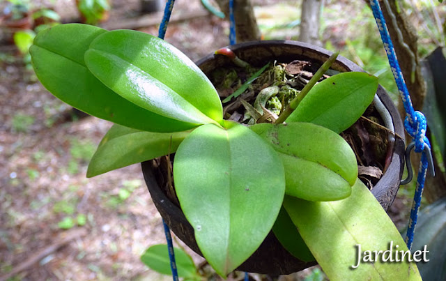 Orquídea mini phalaenopsis na casca do coco