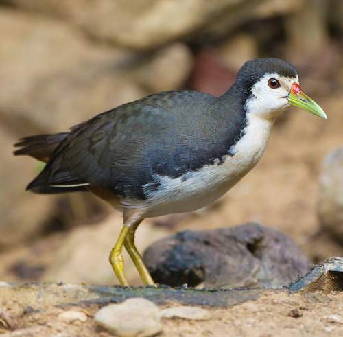 Indian birds - white-breasted waterhen (Amaurornis phoenicurus)