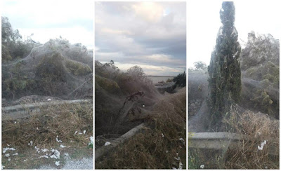 Εντυπωσιακό αραχνοΰφαντο πέπλο κάλυψε τη βλάστηση στο Πόρτο Λάγος! (εικόνες)