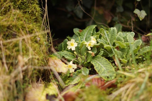 primrose nestled away