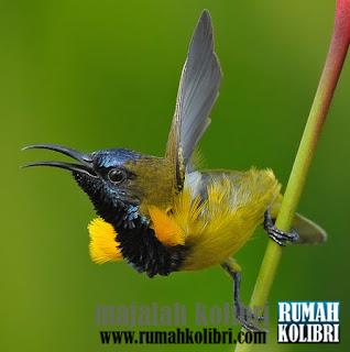 cara merawat kolibri bagi pemula