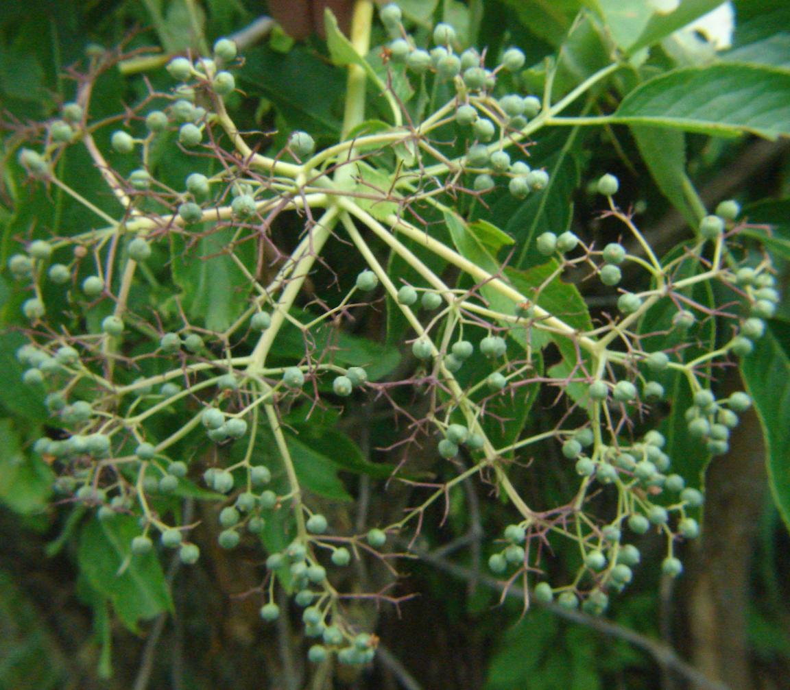 Shrub Identification 02 Sambucus Cerulea