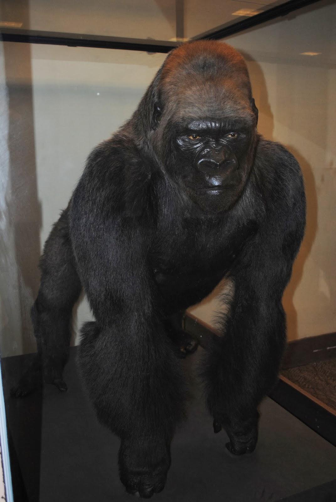 Winifred Smith, 92-Year-Old Cincinnati Woman, 'Reunites ...  |Bushman Gorilla Death