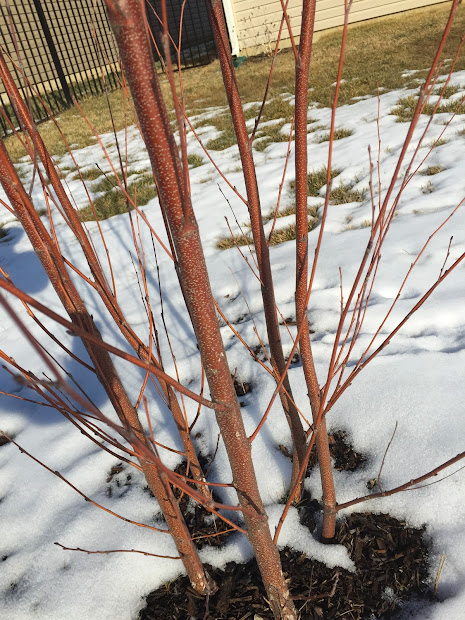 Young River Birch Bark Color In Winter Backyard Neophyte