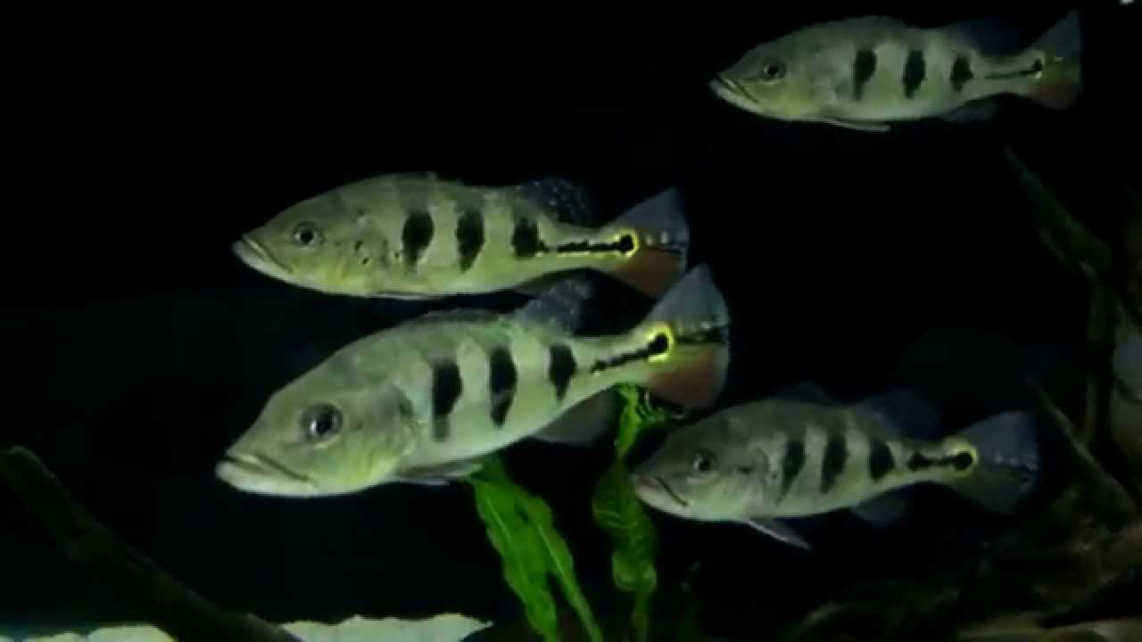 Joe 39 s aquaworld for exotic fishes mumbai india 9833898901 for Bass fish for sale