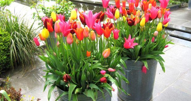 Cara Menanam & Merawat Bunga Tulip ( Panduan Lengkap Budidaya )