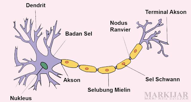 Bagian-Bagian Sel Saraf (Neuron)
