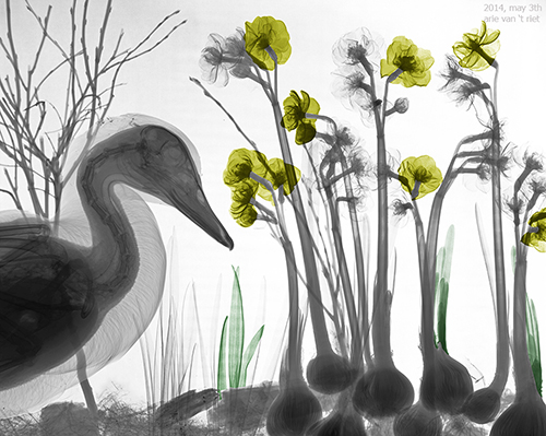 05-Duck-in-garden-Arie-van-t-Riet-Colored-X-ray-Photographs-of-Nature-www-designstack-co