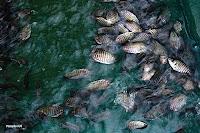 Ikan gurame merupakan salah satu ikan favorite di Indonesia Raya ini Tips Budidaya Ikan Gurame Yang Baik, Panen Besar