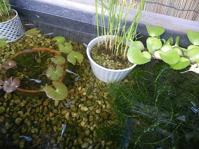 ビオトープの水草